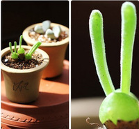 New arrival Indoor green potted plants small little rabbit Monilaria obconica succulents fleshy meaty plant seed 50pcs Seeds