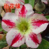 adenium flower seed,5pcs/bag white adenium plant botany flora greenery  flower seed obesum Desert Rose Seeds,BW041126
