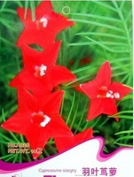 1 Pack 10 Seeds Cypress Vine Morning Glory Vine Seed Quamoclit Pennata   A026