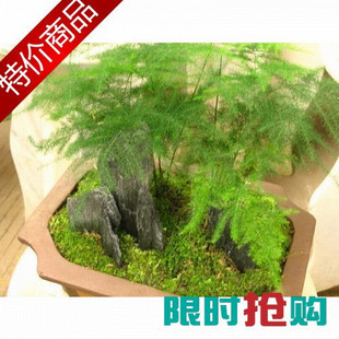 cheap new arrival Asparagus bonsai hydroponic small setose asparagus bonsai office desk air purifying plant free shipping(China (Mainland))