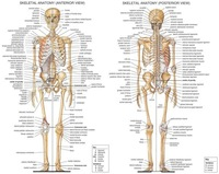 "02 Skeletal System Anatomical Chart 30""x24"" Poster"