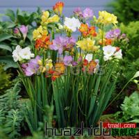 Flowering plants, bulbs species freesia, freesia, multicolor optional,10 pcs