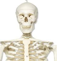 Doctor training supply Hospital manikin Medical standard 170cm human model skeleton