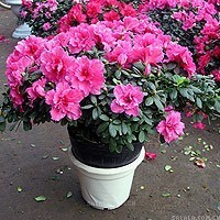 Free shipping Rhododendron seeds, 100pcs