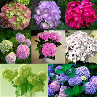 Free shipping Hydrangea flower seeds argonium hydrangea flower seeds flower long 10