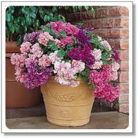 wholesale Flower seeds flower seeds petunia seeds diaolan bonsai balcony - 200 seeds