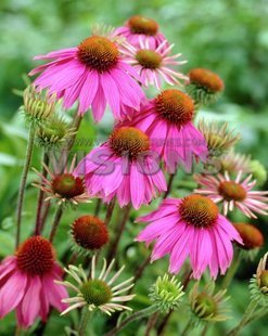 Special offer for sale. - ha076 echinacea - bag flower seeds - 20 - flower series(China (Mainland))