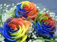 200 Seeds Rare Holland Rainbow Rose Flower Seed  Free Shipping Free shipping