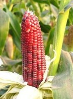 Red Corn Seeds Vegetables Seed Waxy Corn Seeds Home DIY 100Pcs/Bag