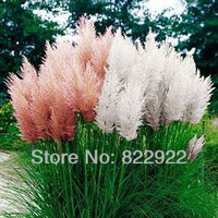 218 Ornamental White Pink PAMPAS PERENNIAL GRASS Cortaderia Selloana Flower Seeds TALL FEATHERY BLOOMS CombSH