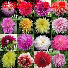 wholesale dahlias flower