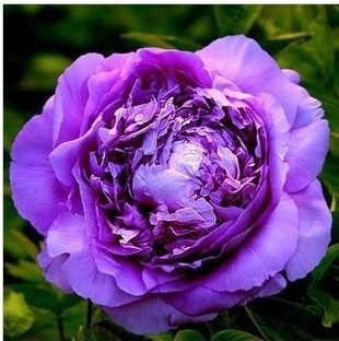 Chinese Pink Golden Purple Duble Colors Peony Flower Seeds(China (Mainland))