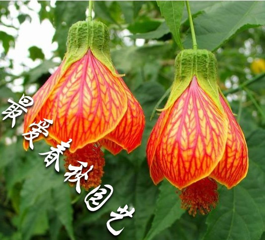 2013. The new special offer. Lantern flower bonsai flower like lantern chinese style size(China (Mainland))