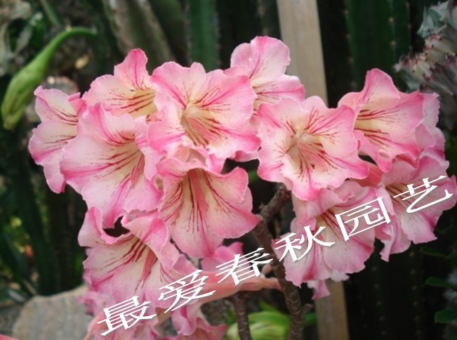 2013 the new special offer. Rose seedlings bonsai flower plant bonsai(China (Mainland))