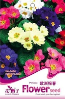 1 Pack 50 Seeds Colorful Primrose Flower Seed Primula Malacoides Hot A080
