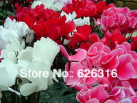 25pcs/lot colorful Cyclamen Seeds  Rabbit Flower seed Flower Seed POT FLOWER PLANT GARDEN BONSAI FLOWER SEED