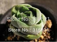 Rare Fleshiness Crassula Columnaris Succulents Mini plants Seeds 20pcs For Home Gardenning Free shipping S011