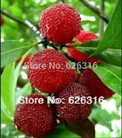 30pcs/lot Bayberry Seeds, Myrica Gale Fruit Seeds  POT FRUIT PLANT GARDEN BONSAI FRUIT SEED DIY HOME PLANT