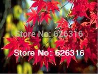 Sweetgum, Liquidambar styraciflua, Maple Tree Seeds POT TREE PLANT GARDEN BONSAI TREE SEED DIY HOME PLANT