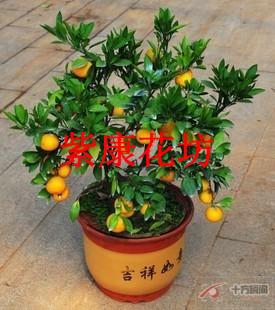 Fruit tree seedlings young fruit tree bonsai kumquat seedlings high quality cracklier kumquat bonsai indoor bonsai(China (Mainland))