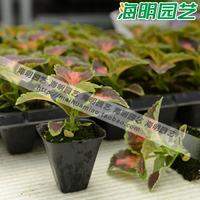 Coleus flower germchit foliage plant seedlings bonsai xiaomiao flower