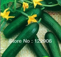 SE1030 Free shipping! 100 Seeds Heirloom Healthy Organic Vegetable Holland Mini Cucumber Seeds