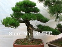 Hot selling 50pcs Japanese pine tree seeds, Pinus thunbergii seeds, bonsai seeds DIY home garden free shipping