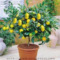 5 packs, 7 seeds / pack, Lemon Tree BONSAI series * Indoor, outdoor available, Edible Green Lemon seeds, plus mysterious gift