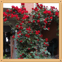 Free Shipping 400 pcs / Pack Red Climbing  Rose , Climbing Red Rose seeds , high quality  Rose seeds