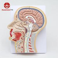 Sagittal section of human head