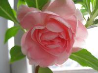1 Pack 20 Seed Pink Garden Balsam Seeds Camellia Flower Seed A006