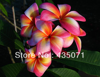 Heirloom 5 Seeds / bag Plumeria mixed Colors Flower Colorful Fresh & High Quality tree seeds Plumeria Rubra Frangipani Supply