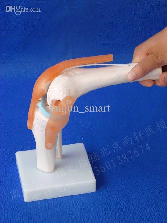 Ligament Model Models,knee Ligament Model