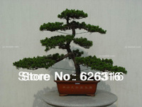 40pcs/lot Money pine tree seed Pseudolarix amabili seed Bonsai Landscape plant seed DIY home garden Bonsai