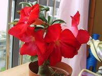Red Adenium obesum Desert Rose Seeds Flower Seeds 5PCS Free Shipping