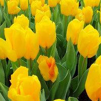 Free shipping Tulip bulbs seeped seeds new arrival dulband tulipa tulipan tulipe