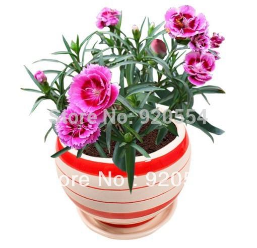 Hot selling 30pcs Mixed Color Carnation Seeds Dianthus Caryophyllus bonsai seeds DIY home garden free shipping(China (Mainland))