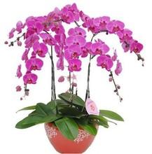 Sementes de Phalaenopsis orquídeas borboleta sementes - 200 pcs sementes de orquídeas Phalaenopsis(China (Mainland))