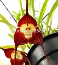 Novas variedades de orquídeas sementes de orquídeas macaco de rosto dragões - 100 pçs/saco(China (Mainland))