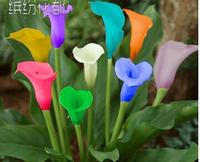 Bonsai plant calla lily bulbs saplings multicolour calla lily bulbs blue  - one ball