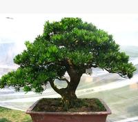30pcs/lot Podocarpus tree seeds Yaccatree Tree Seed, Evergreen Shrubs Potted Landscape GARDEN BONSAI TREE SEED DIY HOME PLANT