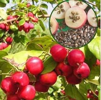 Hot Sale! 20pcs Big Red Apple Tree Seeds High quality 100% Original  fruit plant tree seeds Bonsai