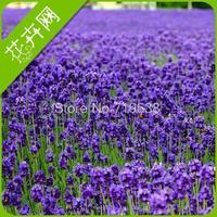 Lavender seeds flower seeds 20  seeds