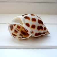 Natural dongfeng screw 6-8cm conch shell fish tank home decoration furnishings