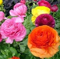 25 PCS/Bag Ranunculus Asiaticus Flower Seeds For Home & Garden DIY Plants Persian Buttercup Seed Flower Bulbs Original Packaging