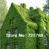 Free Shipping! Ivy seeds, vines, climbing plants, seedlings tiger lying mountains, 60 seeds germinate lot