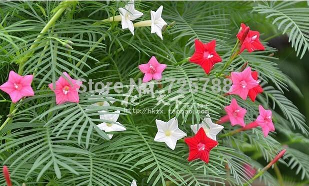 Free Shipping! 50 seeds, balcony Climbing, hanging plant seeds, climbing plants, flower seeds wholesale pinnata Niao dill(China (Mainland))
