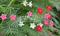 Free Shipping! 50 seeds, balcony Climbing, hanging plant seeds, climbing plants, flower seeds wholesale pinnata Niao dill