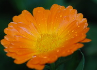 Free Shipping 1 Packs 30 Pot Marigold Flower Seeds