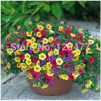 Free shipping Petunia seeds shuttlecock flower horn sweet potato flower bonsai Petunia flowers seeds - 200pcs